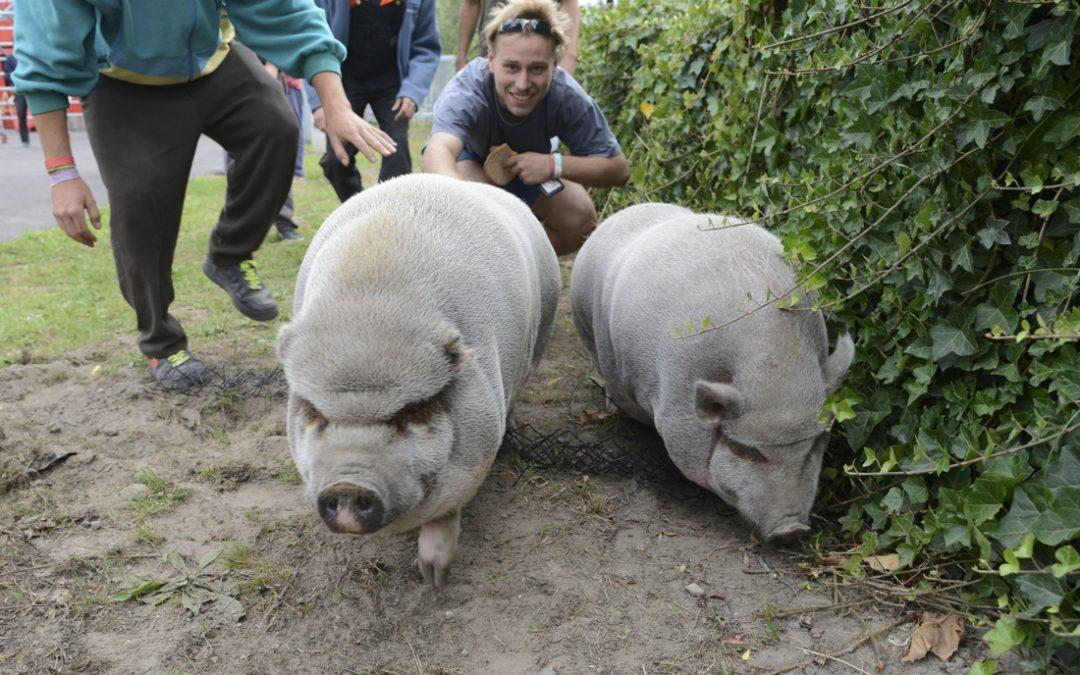 """Hangbuikzwijnen Marie en Odette moeten op zoek naar een nieuwe thuis: """"Ze vielen helaas wat groter uit dan we hadden verwacht"""""""